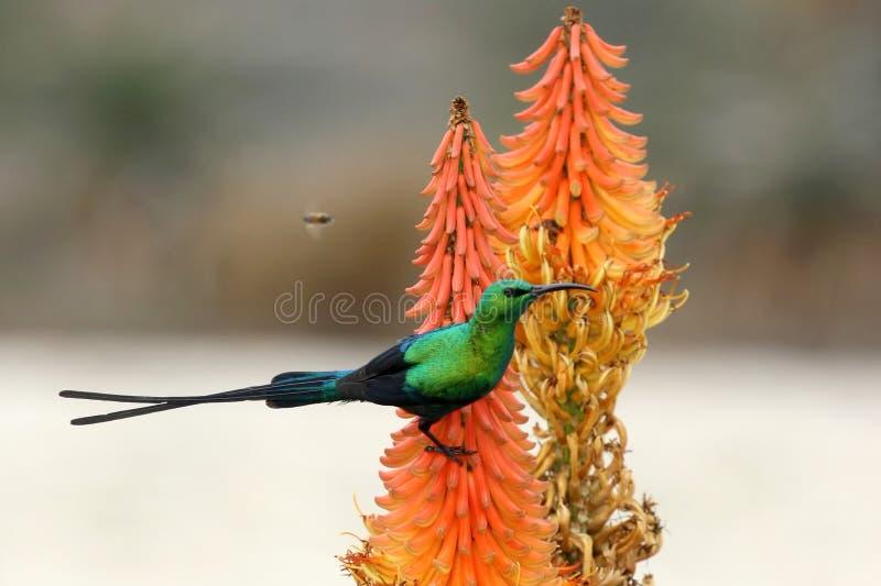 Malaquite Sunbird e abelha fotos de stock