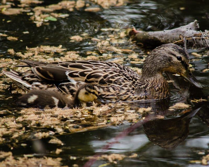 Malard母鸡和她的一只鸭子肩并肩游泳,她密切注视她年轻的仔细的  库存图片