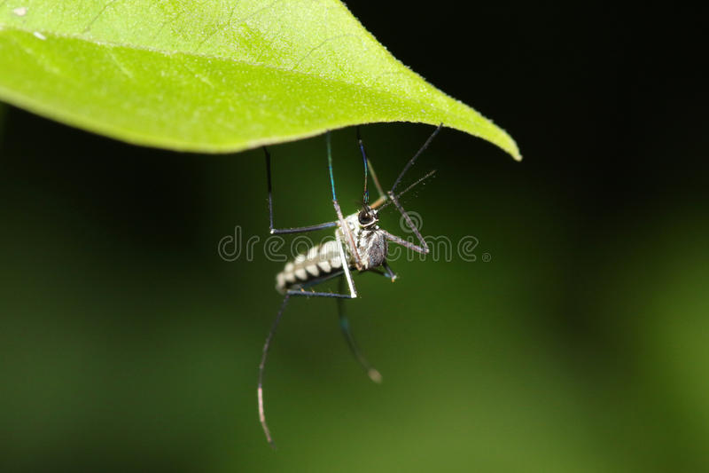 Malaria mosquito royalty free stock photos