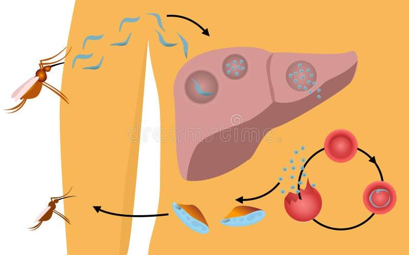 Malarialivcirkulering i människokroppen stock illustrationer