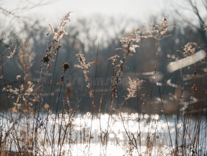Malas hierbas de la flor bajo puesta del sol cerca de la laguna fotos de archivo
