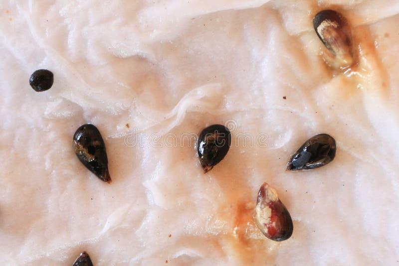 Malattia della putrefazione del seme immagini stock libere da diritti