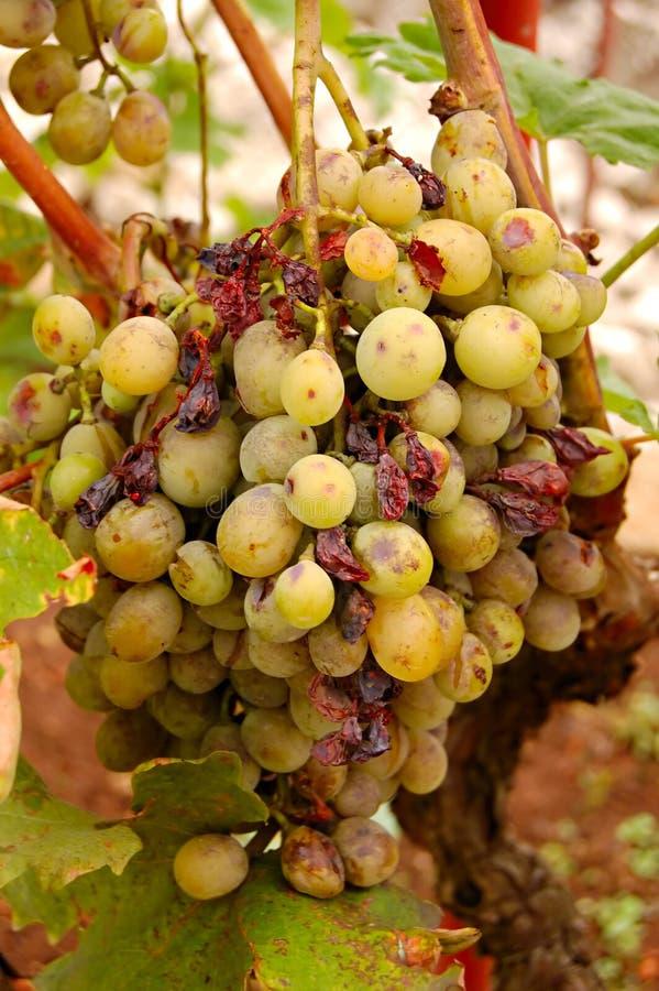 Malattia/malattia dell'uva immagine stock