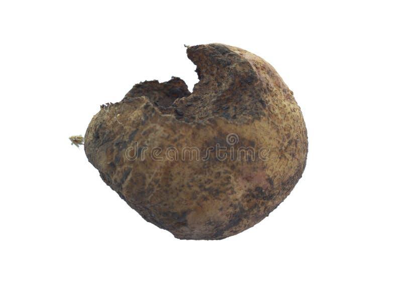 Malattie di patata: patata nociva da una grillotalpa fotografia stock