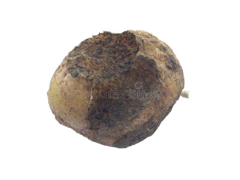 Malattie di patata: patata nociva da una grillotalpa immagine stock