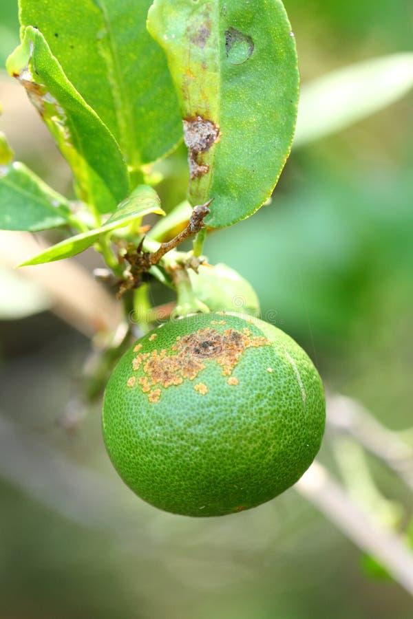 Malattie vegetali, ulcera dell'agrume fotografia stock libera da diritti