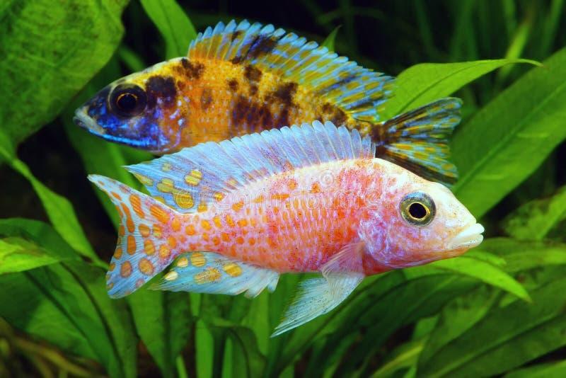 Malawi Cichlid royalty-vrije stock foto