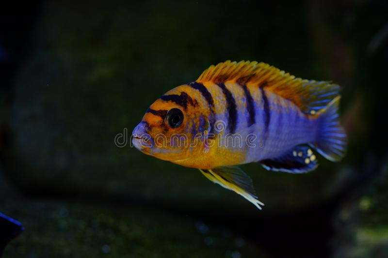 African Malawi cichlid aquarium fish freshwater royalty free stock images