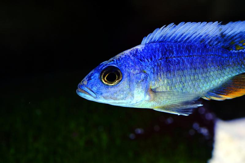 African Malawi cichlid aquarium fish freshwater stock photography