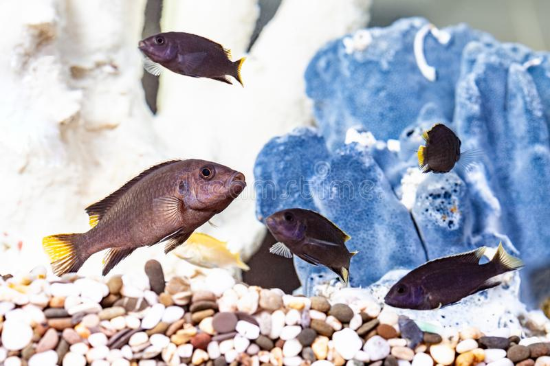Malawi cichlids aquarium fish stock photography
