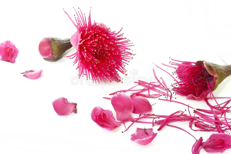 Malay Apple Flower Stock Photos