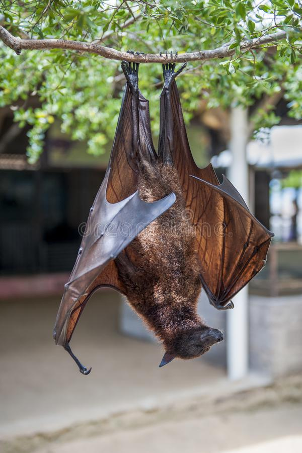 Upside down Malay big flying fox stock images