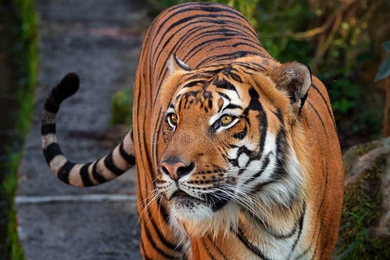 Malay do tigre fotos de stock