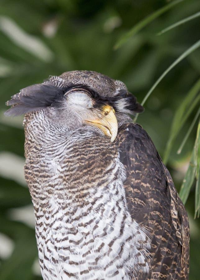 Malay Eagle-owl Bubo Sumatranus Stock Image - Image of ...