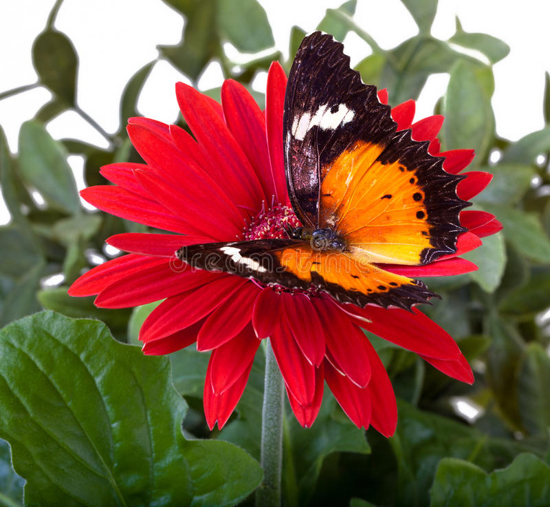 Malay Lacewing Butterfly. Cethosia hypsea hypsina on Red Gerbera Daisy stock photography