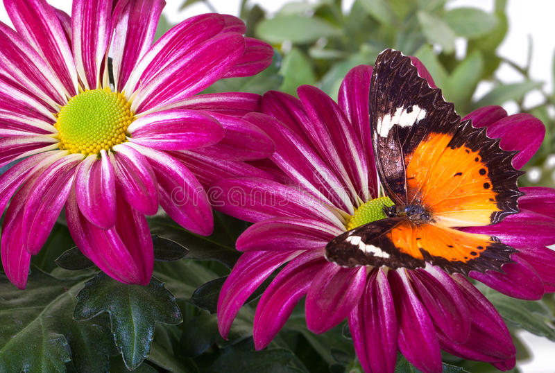 Malay Lacewing Butterfly. Cethosia hypsea hypsina on Red Mum royalty free stock images