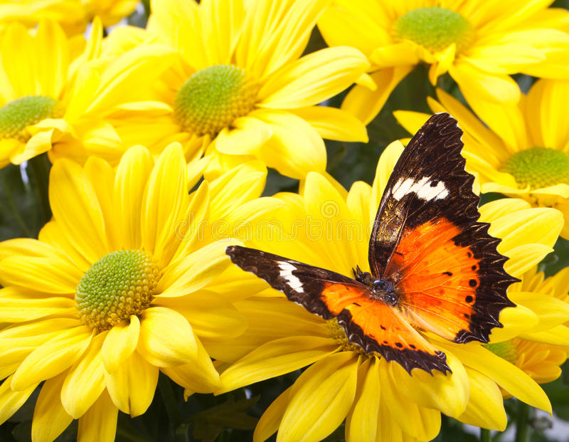 Malay Lacewing Butterfly. Cethosia hypsea hypsina on Yellow Chrysanthemum royalty free stock photos