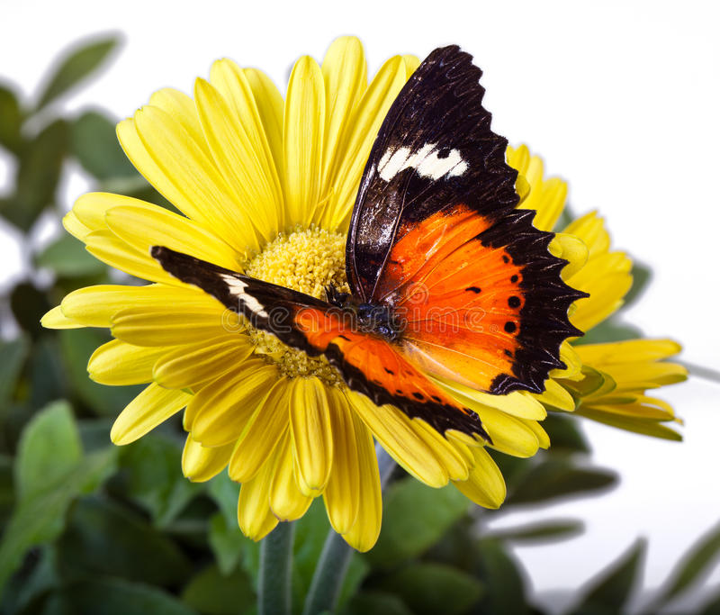Malay Lacewing Butterfly. Cethosia hypsea hypsina on Yellow Gerbera Daisy royalty free stock photo