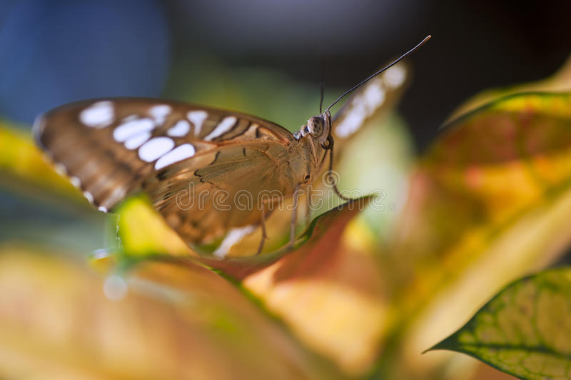 Malay Lacewing butterfly. On leaf stock images