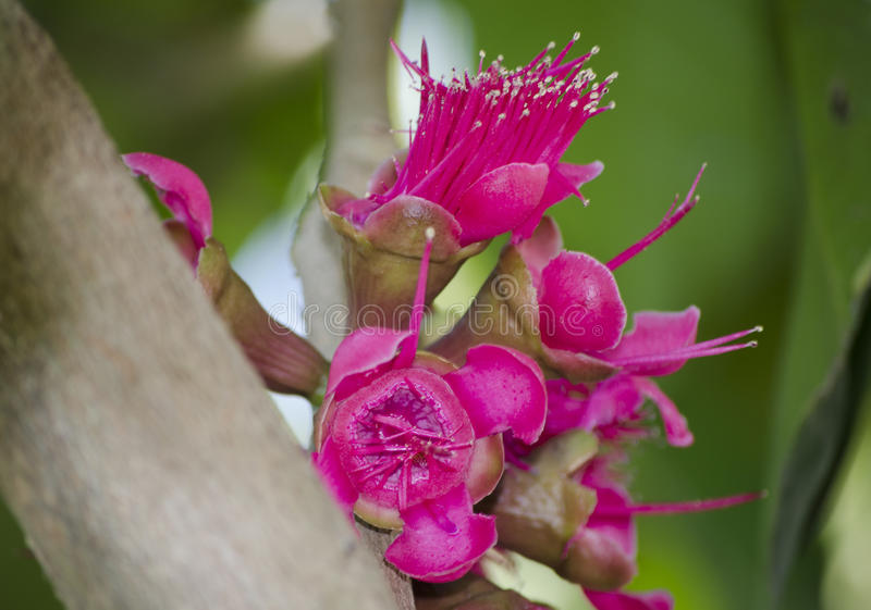 Red pink blooming Malay rose apple flowers in a spring season at tropical botanical garden in Thailand. A Red pink blooming Malay rose apple flowers in a spring stock photography