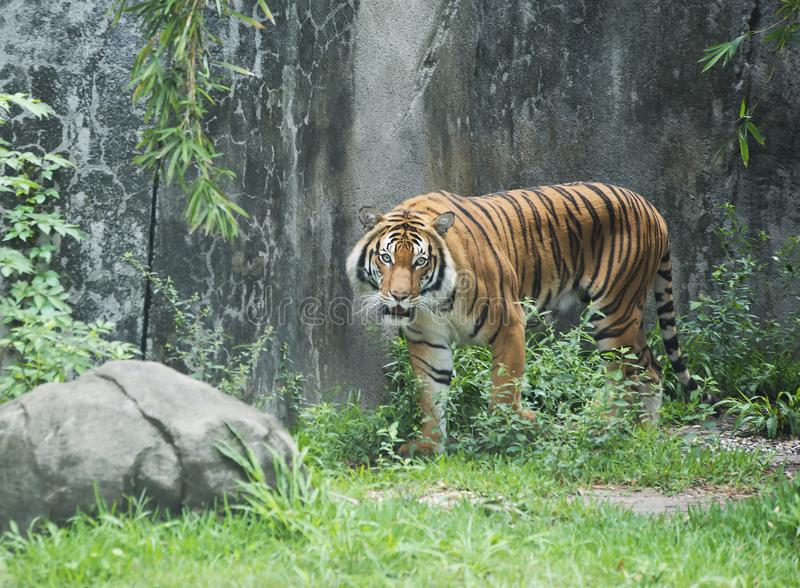 Malay Tiger in Zoo. Adult tiger walking in Houston, Texas zoo royalty free stock photos