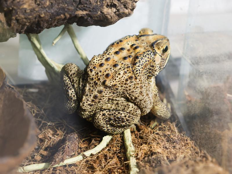 Malay toad. The main color of the backs of toads are brown, black. The skin of this toad is covered with a continuous layer of uniform black bumps that are royalty free stock photo