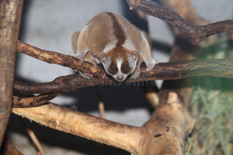 Malayan αργά loris στοκ εικόνα