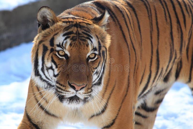 Malayan τίγρη στοκ φωτογραφία