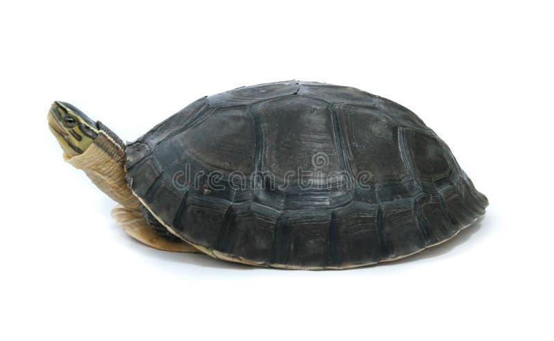 malayan χελώνα κιβωτίων στοκ εικόνες