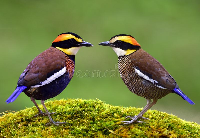 Malayan Banded Pitta Hydrornis guajana lovely pair multiple colors birds perching together on green mo royalty free stock image