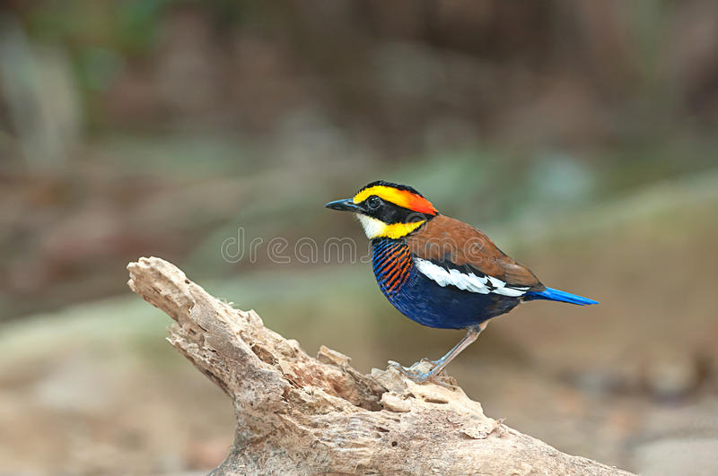 Malayan Banded Pitta Male with stump in nature stock images