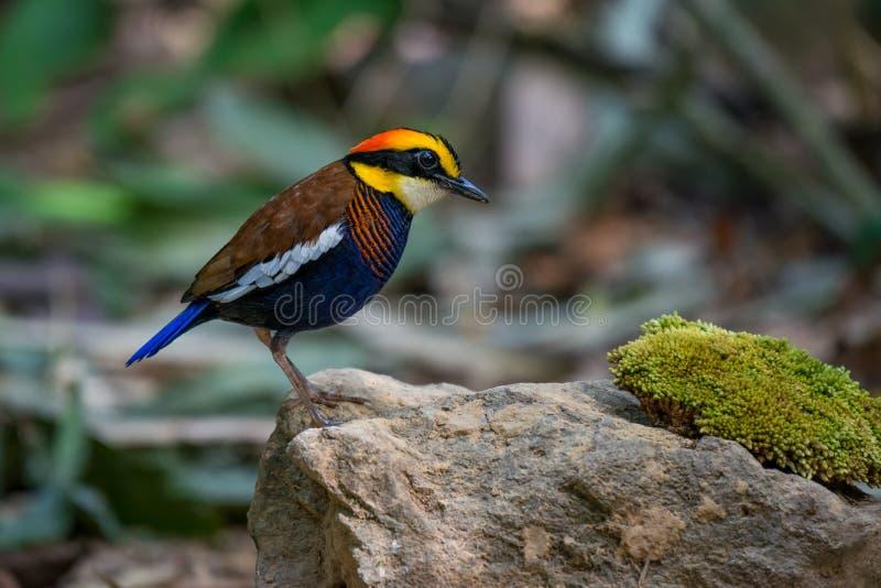 Malayan banded Pitta at Sriphang-nga national park. royalty free stock photo
