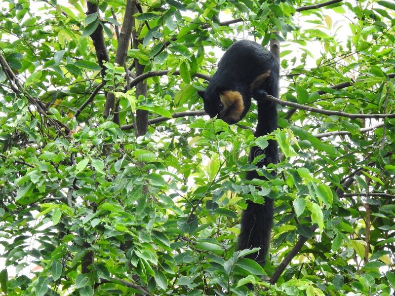 Malayan black giant squirrel royalty free stock image