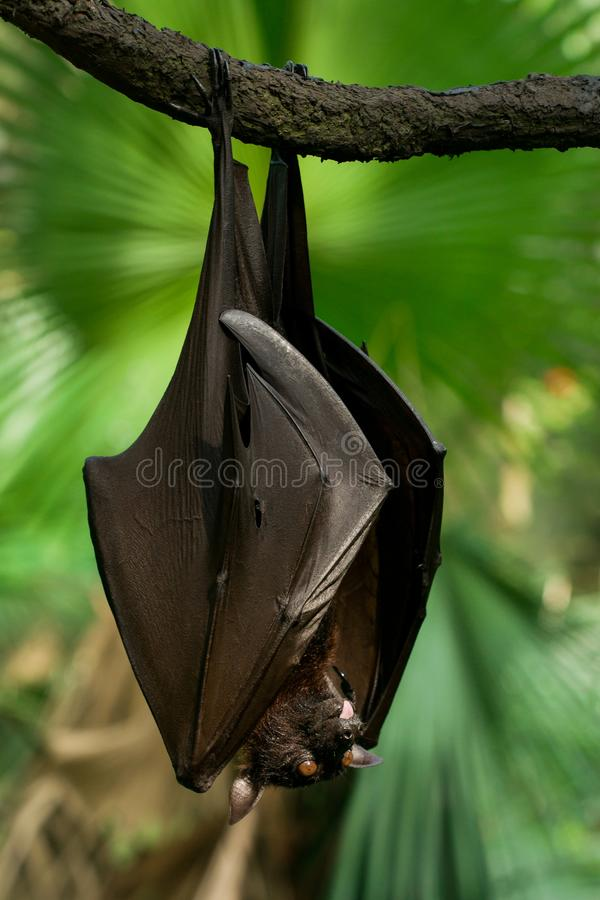 Malayan flying fox royalty free stock photography