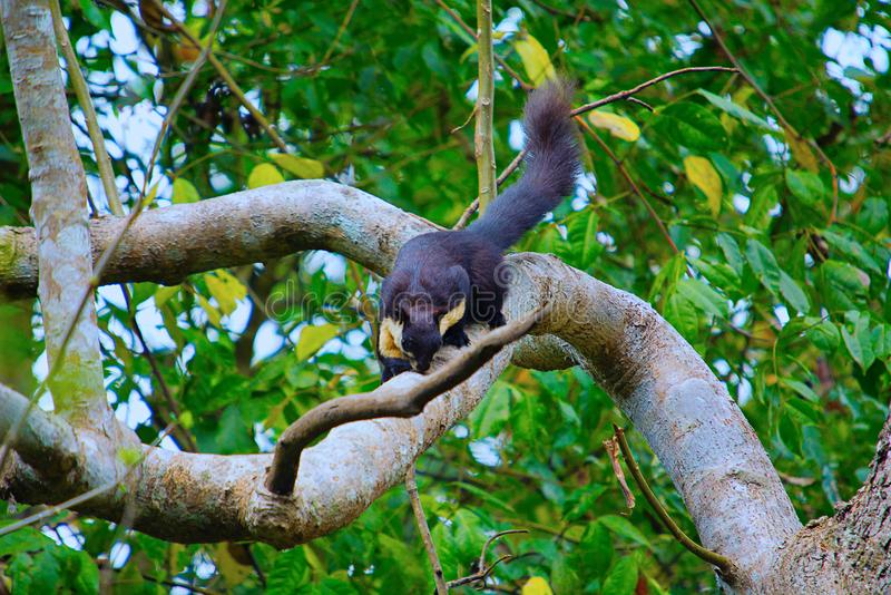 Malayan giant squirrel, Ratufa bicolor, Nameri National Park stock photo