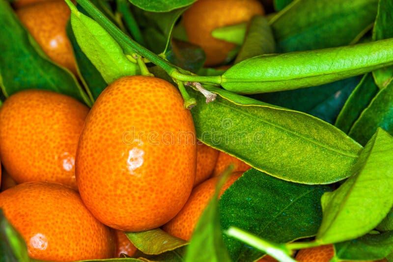 Malayan kumquat fortunella foliage and fruit macro background royalty free stock photography