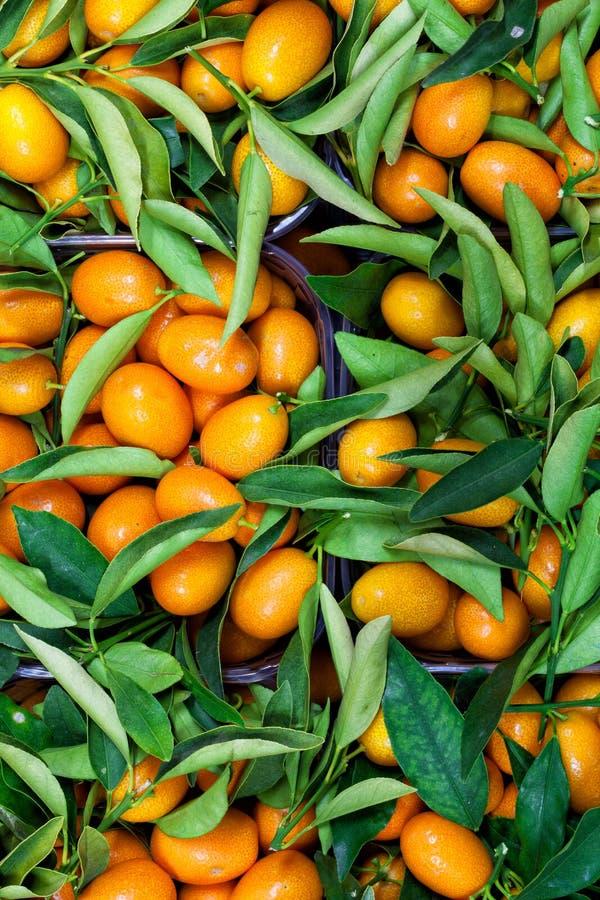 Malayan kumquatfortunellalövverk och fruktbakgrund royaltyfria foton