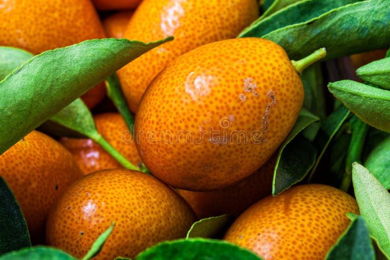 Malayan kumquatfortunellalövverk och fruktmakrobakgrund royaltyfria bilder