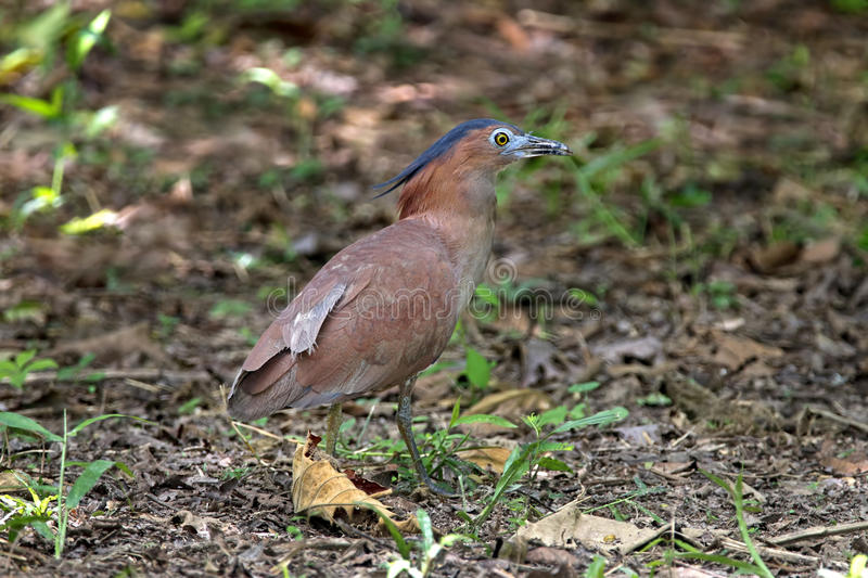 Malayan Night Heron Gorsachius melanolophus Male Beautiful Birds of Thailand stock photos