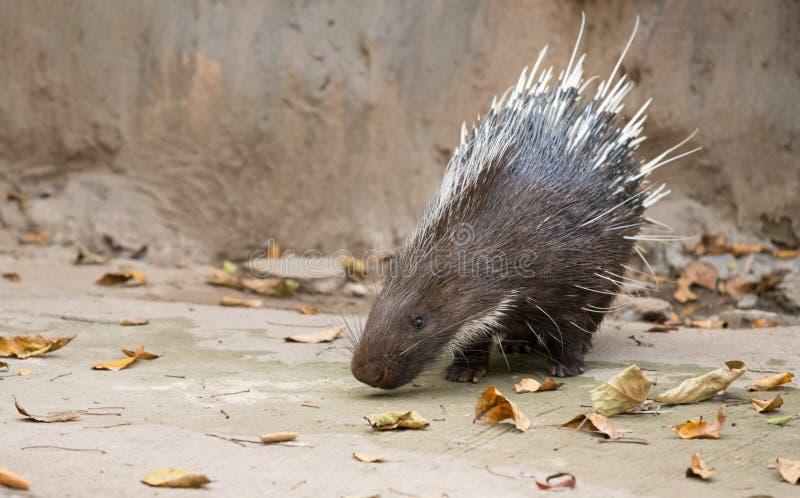 Malayan porcupine, Himalayan porcupine, Large porcupine royalty free stock photography