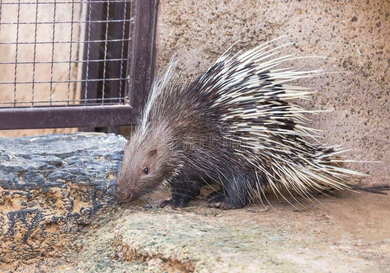 Malayan porcupine, Himalayan porcupine, Large porcupine royalty free stock images