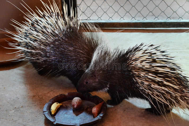 Malayan porcupine. In the zoo royalty free stock photo