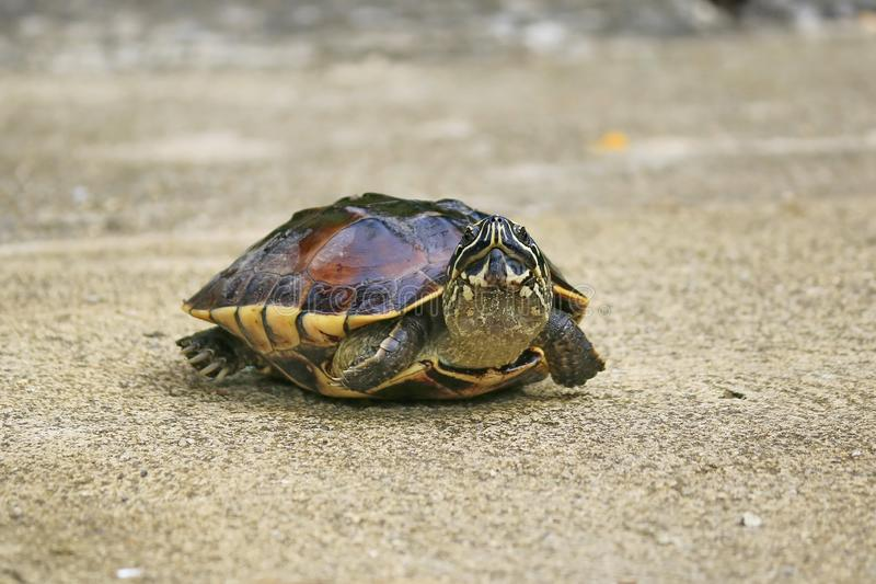 Malayan Snail- eating Terrapin walking on the road. The carapace has 3 ridges clearly visible. And has smooth edges The head is large and has yellow or white royalty free stock photo