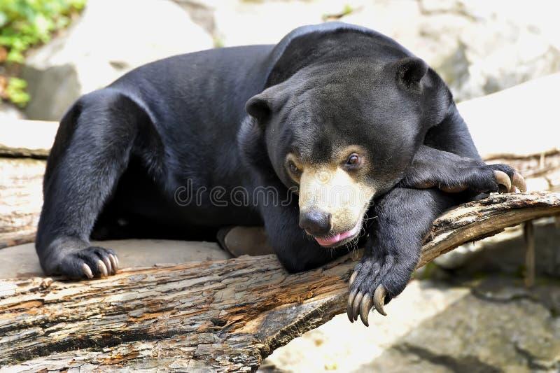 Malayan Sun Bear royalty free stock images