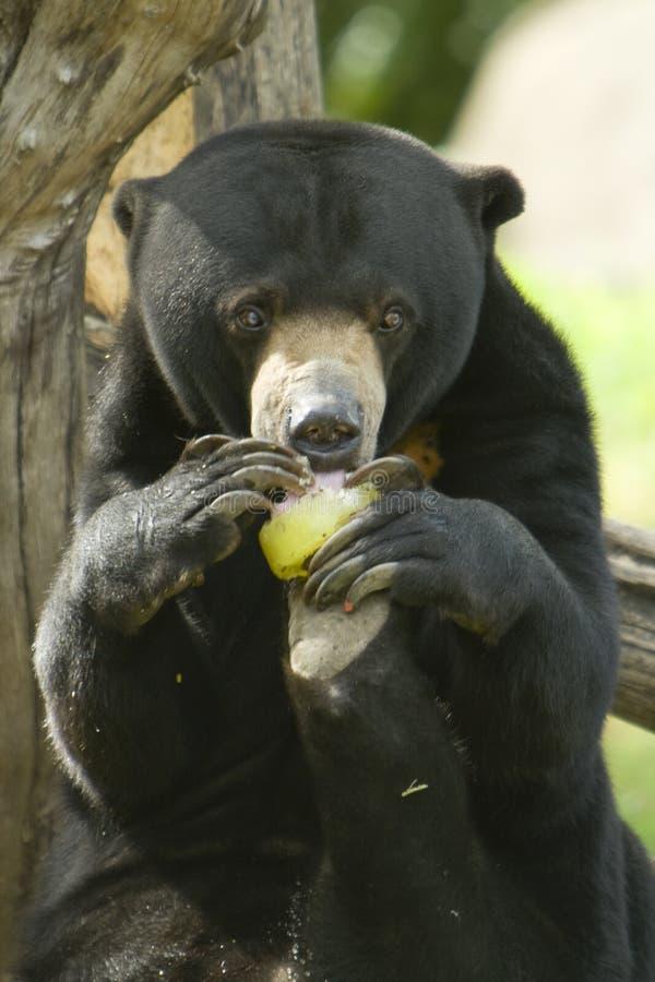 Sun bear eating food royalty free stock photography