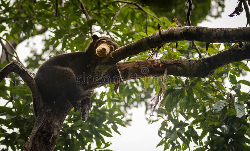 Malayan sun bear looking moody and tired, Sepilok, Borneo, Malaysia royalty free stock photo