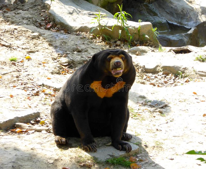 Malayan Sun Bear sitting on the ground stock photos