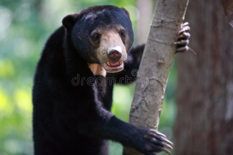 Malayan sun bear on tree, Sepilok, Borneo, Malaysia. Malayan sun bear on tree in Sepilok, Borneo, Malaysia stock image