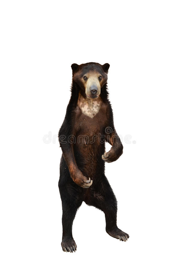 Free Malayan Sunbear Isolated Royalty Free Stock Image - 30169326