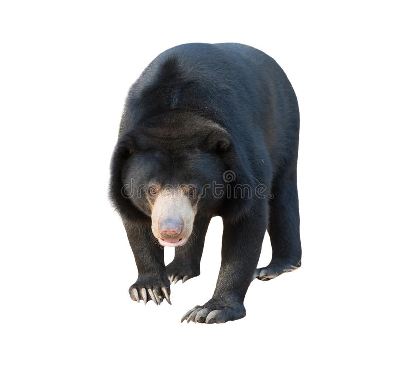 Free Malayan Sunbear Isolated Stock Image - 62660701